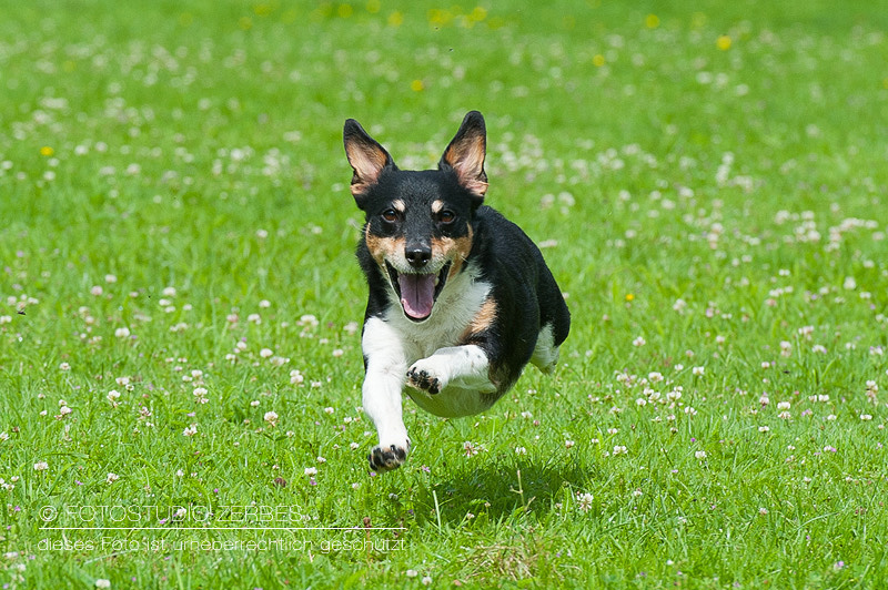 Hunde-Fotoshooting-Bewegungsaufnahmen-Tierfotograf - Fotoshootings im Fotostudio Zerbes in Köln